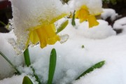 Daffodil  in snow Fosters Booth Paul Howard
